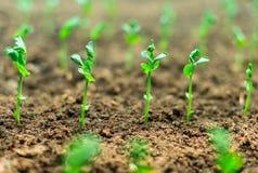 Close-up van jonge groene spruiten Stock Foto