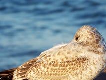 Close-up van jonge haringenmeeuw met blauw meer op achtergrond royalty-vrije stock foto's