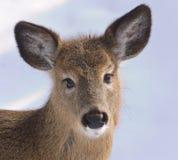 Close-up van jonge herten met veel haar en grote ogen stock fotografie