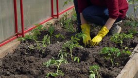 Close-up van Jonge Vrouw die Tomaten planten stock video