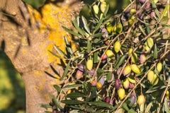 Close-up van kalamataolijven die op boom rijpen Stock Foto's