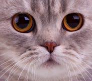 Close-up van kattengezicht Royalty-vrije Stock Afbeeldingen