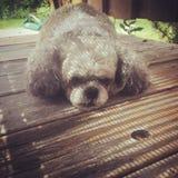 Close-up van kleine leuke hond die op rustiek houten dek leggen stock foto's