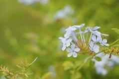 Close-up van kleine witte bloemen over een groene, vage achtergrond Mooie Aardscène met Bokeh-ruimte voor tekst Royalty-vrije Stock Foto's