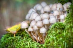 Close-up van kleine witte paddestoelen in mos wordt geschoten dat Stock Afbeeldingen