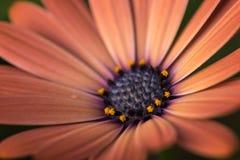 Close-up van kleurrijk osteospermumbloem of kaapmadeliefje Stock Afbeeldingen