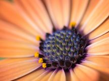 Close-up van kleurrijk osteospermumbloem of kaapmadeliefje Royalty-vrije Stock Fotografie