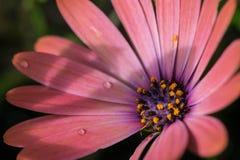 Close-up van kleurrijk osteospermumbloem of kaapmadeliefje stock fotografie