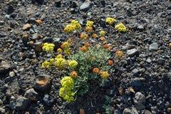 Close-up van kleurrijke bloemen in Cinder Cone stock afbeeldingen