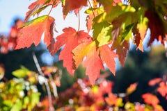 Close-up van kleurrijke dalingsbladeren in zonlicht Stock Fotografie