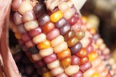 Close-up van kleurrijke droge Maïs als decoratie stock foto's