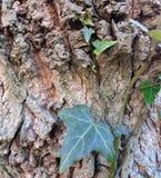 Close-up van klimop die op de schors van een boom, groene installatie op boomachtergrond beklimt royalty-vrije stock afbeeldingen