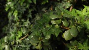 Close-up van klimopachtergrond De mooie natuurlijke achtergrond van weelderige groene klimop en installaties met bespat water daa stock video