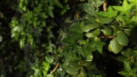 Close-up van klimopachtergrond De mooie natuurlijke achtergrond van weelderige groene klimop en installaties met bespat water daa stock footage