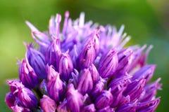 Close-up van knoflookbloemen Vage achtergrond De dag van de lente royalty-vrije stock foto