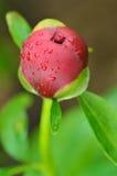 Close-up van knop van pioenbloem Stock Afbeeldingen
