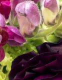 Close-up van knoppen van de leeuwebek en rununculus van Bourgondië stock foto