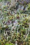 Close-up van korstmossen en mos royalty-vrije stock afbeeldingen
