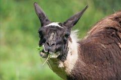 Close-up van lama het kauwen gras op weiland royalty-vrije stock fotografie