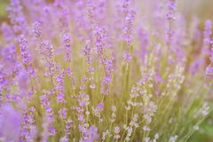 Close-up van lavendel van de ochtendzon die wordt gekust Royalty-vrije Stock Afbeeldingen