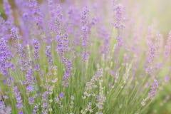 Close-up van lavendel van de ochtendzon die wordt gekust Stock Foto's
