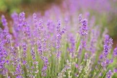 Close-up van lavendel van de ochtendzon die wordt gekust Royalty-vrije Stock Afbeelding