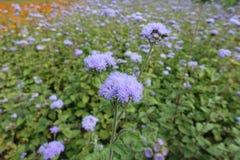 Close-up van lavendel gekleurde bloemen van Ageratum-houstonianum stock foto