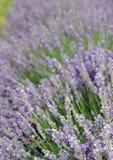 Close-up van lavendelbloei met vage bloeiachtergrond Royalty-vrije Stock Foto's
