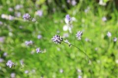 Close-up van Lavendelinstallaties Stock Foto