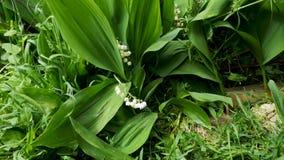 Close-up van lelietje-van-dalen die in de wind slingeren De schoonheid van wit bloemen en groen veroorzaakt prettige gevoel en re stock video