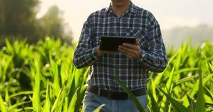 Close-up van lensgloed: de Handen die van de landbouwer tabletcomputer en wat betreft en het inspecteren houden bladeren op graan stock video