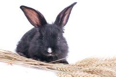 Close-up van leuk zwart konijn van witte achtergrond Royalty-vrije Stock Foto