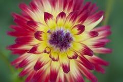 Close-up van levendige rode en gele dahliabloem Royalty-vrije Stock Afbeelding