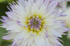 Close-up van levendige roze dahliabloem Stock Foto's