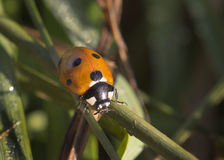 Close-up van Lieveheersbeestje Royalty-vrije Stock Afbeeldingen