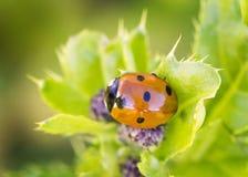 Close-up van Lieveheersbeestje Stock Foto