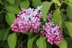 Close-up van lilac bloem Royalty-vrije Stock Afbeeldingen