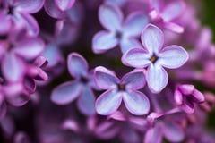 Close-up van Lilac bloemen Stock Afbeeldingen