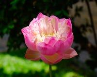 Close-up van lotusbloembloem royalty-vrije stock afbeelding