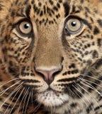 Close-up van Luipaard, Panthera-pardus stock foto's
