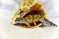 Close-up van luipaardgekko het eublephar leven in een zeeschelp met een zachte witte achterachtergrond royalty-vrije stock foto