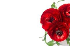 Close-up van luxe de donkerrode bloemen met exemplaarruimte op witte achtergrond De romantische achtergrond van de de lentevakant Royalty-vrije Stock Fotografie