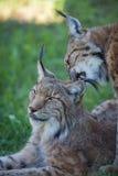 Close-up van lynx het knagen aan partner in schaduwen Royalty-vrije Stock Foto's