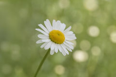 Close-up van madeliefjebloem op groene vage achtergrond Royalty-vrije Stock Afbeelding
