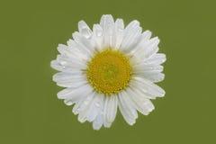 Close-up van madeliefjebloem op lichtgroene vage achtergrond Royalty-vrije Stock Fotografie