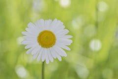 Close-up van madeliefjebloem op lichtgroene vage achtergrond Royalty-vrije Stock Afbeeldingen