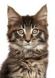 Close-up van Maine Coon-katje dat op witte achtergrond wordt geïsoleerd Stock Fotografie