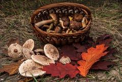 Close-up van mand met verse paddestoelen en mooie rode eiken bladeren stock afbeeldingen