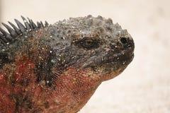 Close-up van Marine Iguana royalty-vrije stock afbeeldingen