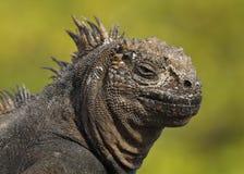 Close-up van Marine Iguana royalty-vrije stock afbeelding